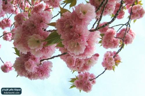 اجمل زهرة في العالم hwaml.com_1293803354_321.jpg