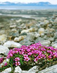 نبات كاسر الحجر Hwaml.com_1293803486_875