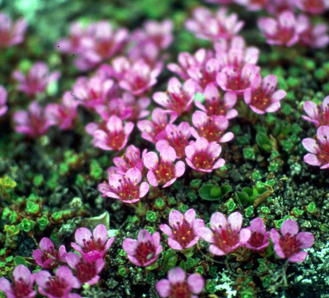 نبات كاسر الحجر Hwaml.com_1293803491_396