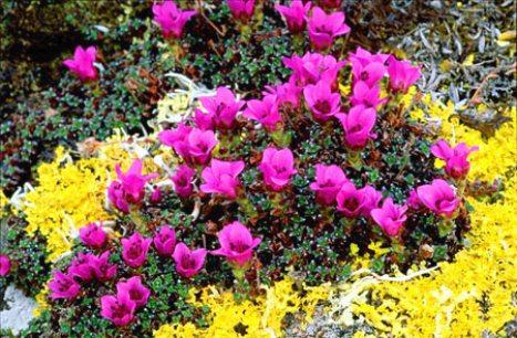نبات كاسر الحجر Hwaml.com_1293803497_161
