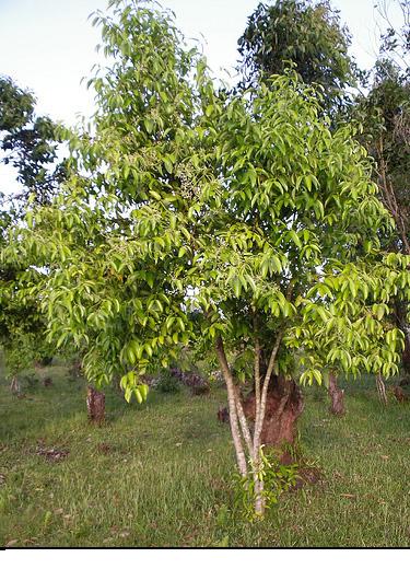 أشجار القرفة وأستخدامتها المتعددة مع الصور والشرح