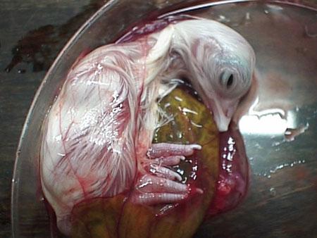 بيضة تتحول كتكوت امام العين (صور رائعة)سبحان الخالق hwaml.com_1312294130