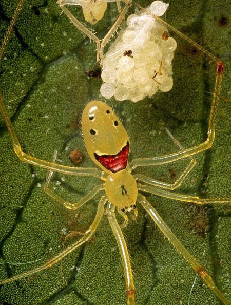العنكبوت سعيد الوجه