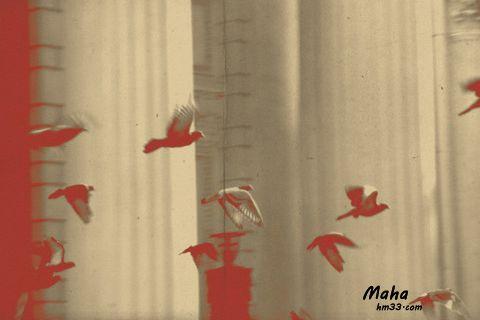 عصافير للبي جديد خلفيات عصافير