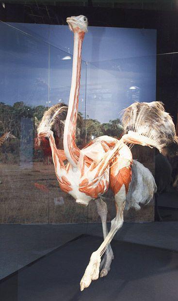 متحف حيوانات بدون جلد 2018 صور فن المتحف حيوانات محنطه